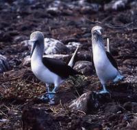 35島目              エクアドル共和国 ガラパゴス諸島=Ⅱ        ガラパゴス旅行記