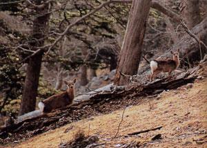日本の島再発見_宮城県_牡鹿諸島_金華山_登山道の野生の鹿
