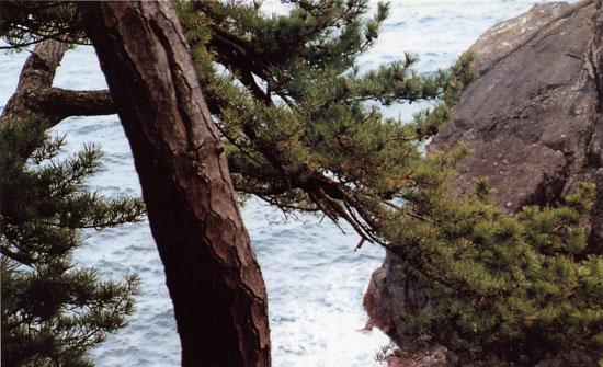 日本の島再発見_宮城県_大島_竜舞崎の黒松