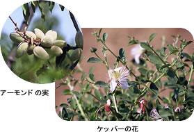 アーモンドの実/ケッパーの花