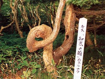 日本の島再発見_北海道_焼尻島_ナラの木