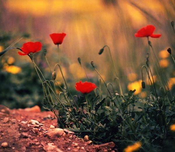 キプロスの花