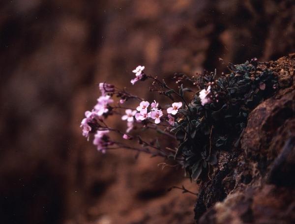 キプロス島にだけ咲く「アラビス・プルプレア」