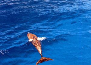 日本の島再発見_東京都_小笠原諸島_父島_楽しく泳ぐイルカは人と友だち