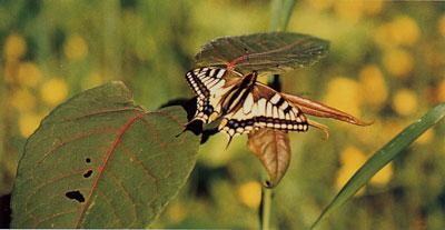 日本の島再発見_新潟県_粟島_粟島の蝶