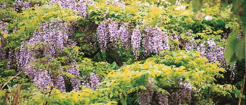 日本の島再発見_新潟県_佐渡島_新穂村のフジの花