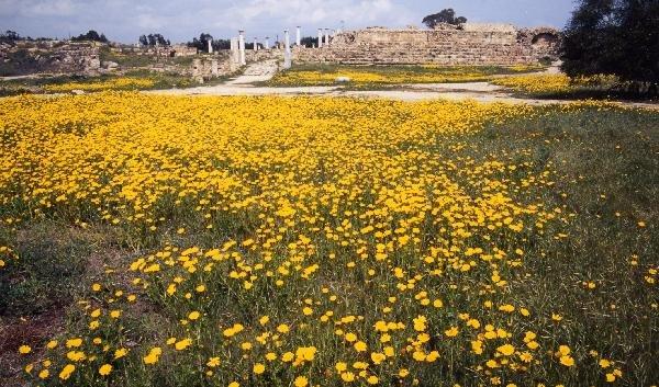 デイジーの花が満開のサラミス遺跡