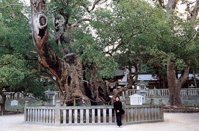 日本の島再発見_愛媛県_越智諸島_大三島_樹齢2600年のクスの木
