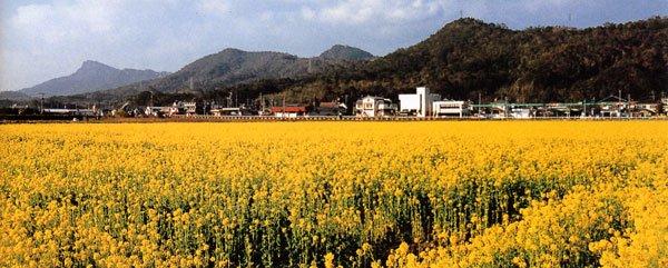 熊本県_天草諸島_天草上島下島_天草の菜の花畑