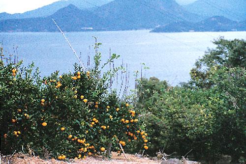 日本の島再発見_香川県_直島諸島_豊島_豊島のみかん畑