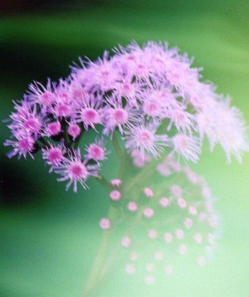 パプアニューギニアの花