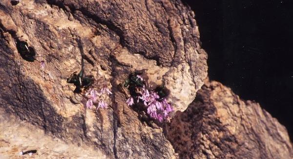 キプロス島だけの花