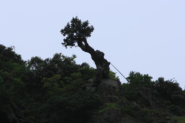 地球の島めぐり_韓国_鬱陵島_2千年の香りの木