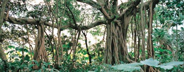 日本の島再発見_屋久島 一本のガジュマルの木