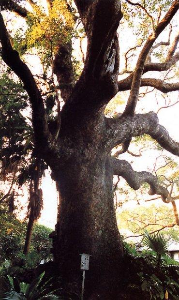日本の島再発見_長崎県_五島列島_福江島_樹齢650年のアコウの木