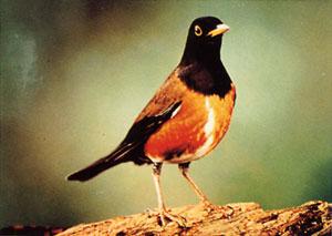 日本の島再発見_東京都_伊豆諸島_三宅島_天然記念物の鳥、アカコッコ