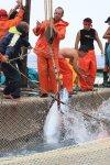 イタリア サンピエトロ島 マグロ漁