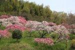 2014年春・桜前線