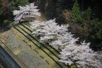 2014年春 水辺の桜