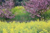 2014年春 桜と菜の花